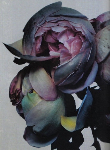 Nick_knight, Fleur, Photo, rose